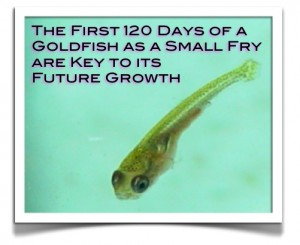 growth of a goldfish 120 days
